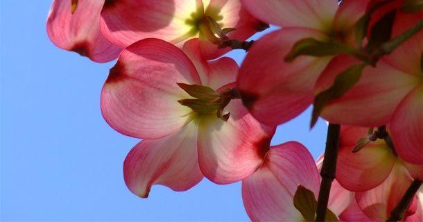 Шиповник – красивая и полезная дикая роза