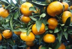 черенкование цитрусовых